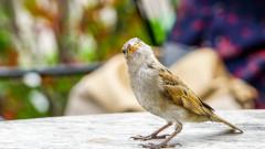 Защо изчезват врабчетата