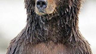 Издирва се мечка от Смолянско