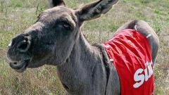 Култово: Хари Реднап купува летяло с парашут магаре (+видео)
