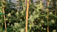 Откриха нарколаборатория за канабис в монтанското село