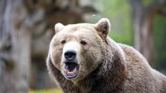 Бум на сигналите за нападения на мечки в Смолянско