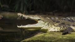 Колко време издържат крокодилите без храна