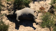 Стотици слонове измряха мистериозно в Ботсвана