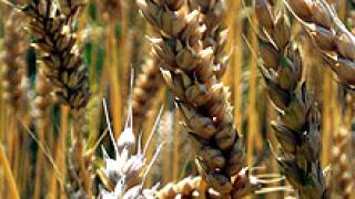 С 755 хил. дка по-малко са засетите площи с пшеница