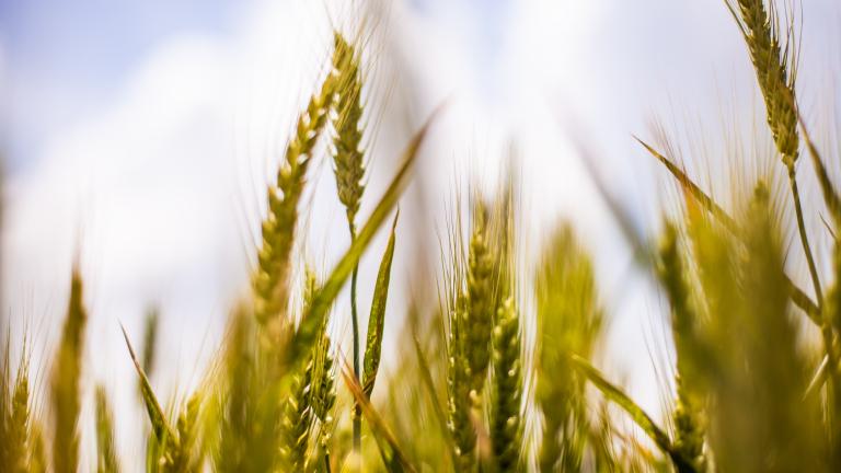 Българските фермери увеличават площите със засята пшеница