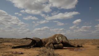 Защо на слоновете вече не им растат бивни