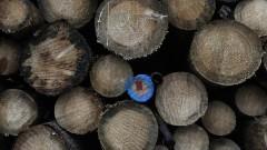 Полша наруши законите на ЕС с изсичането на древна гора, реши евросъдът