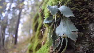 Орфеевото цвете, преживяло ледниковия период, може да изчезне сега