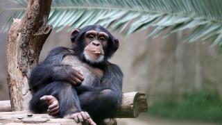 По какво още си приличаме с шимпанзетата