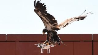 В Холандия използват орли срещу дронове