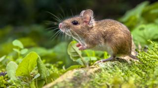 Австралия заплашена от нашествие на полски мишки