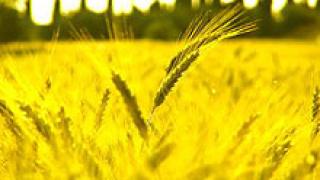 Чакаме добра жътвена реколта