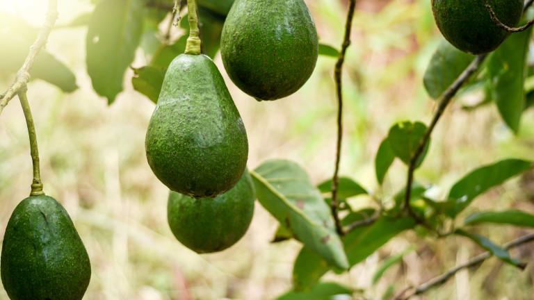 Авокадото се е превърнало в супер храна, а консумацията му
