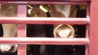 Транспортирали селскостопански животни през цялата страна в най-големите жеги