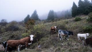 Дадоха месец срок на фермер от Челопечене да си прибере кравите от пътя