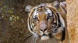 Тигрица се разходи из ленинградския зоопарк