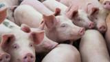 Започва дезинфекция след умъртвяването на прасета в Бургаско