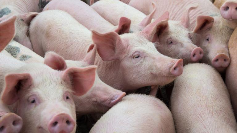 Откриха африканска чума по свинете и в Търновско