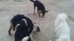 В Павел баня настояват за мерки срещу бездомните кучета