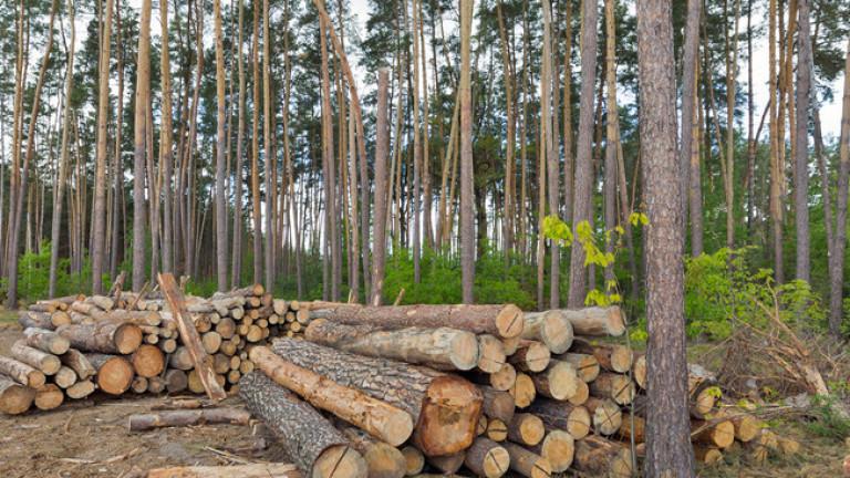 Снимка: Разкриха незаконна сеч на 36 дървета от бял бор в Трън
