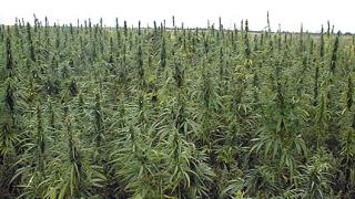 Увеличават се фермите с канабис в Англия