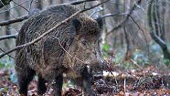 Откриха заразено с трихинелоза месо от диви свине в 3 ловешки села