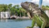 Защо във Флорида насърчават избиването на игуани