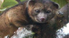 Откриха нов вид бозайник в горите на Еквадор