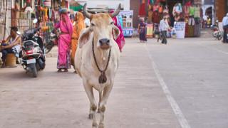 На съд за кражба на кравешки изпражнения - в Индия