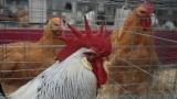 Откриха огнище на птичи грип в сливенско
