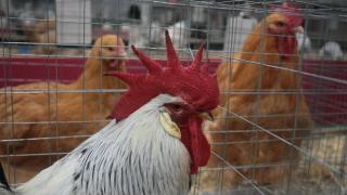 Откриха огнище на нюкасълска болест по птиците в румънски окръг близо до Силистра