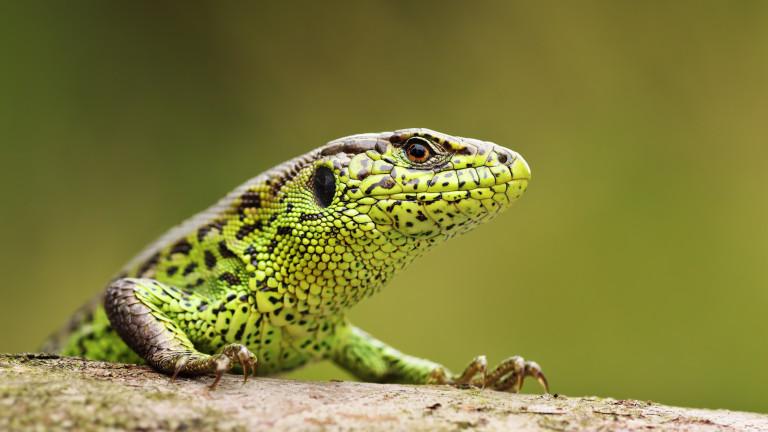 Някои животни, като гущерите, някои риби и саламандрите, са известни