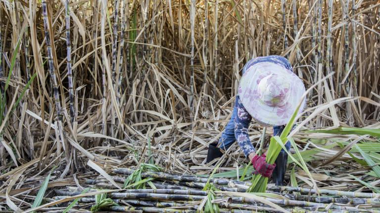 Производството на захар в Индия стигна тригодишно дъно заради сушата