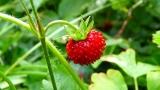 Търсят жени за бране на ягоди в Испания