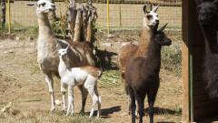 Трето поколение лами се чувства добре в Старозагорския зоопарк
