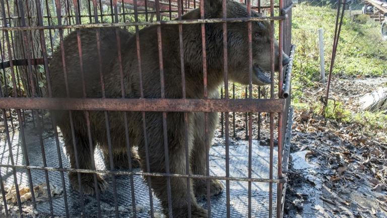 Наши ветеринари упоиха три циркови мечки в Сърбия