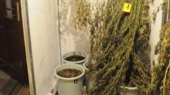 На домашна оранжерия за канабис се натъкнаха силистренски полицаи