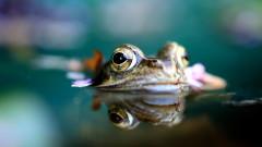 Френски съдия постанови шумните жаби да бъдат изгонени от село