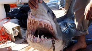 В Египет безсилни срещу акулите