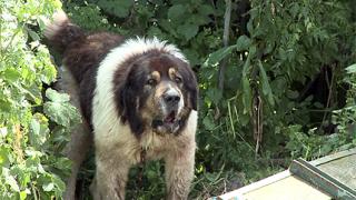 5 години затвор, ако кучето ти убие човек
