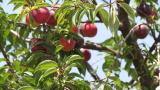Огромни загуби за овощарите заради дъждовете в Русенско