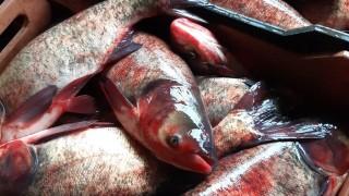 Иззеха над 500 кг риба след повече от 440 проверки за седмица