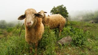 Обяснение в любов с овце