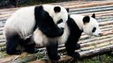 Защо тези две панди решиха да правят секс точно сега