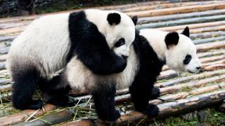 Защо тези панди решиха да се чифтосват точно сега