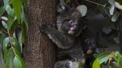 Над 60 000 коали засегнати от горските пожари в Австралия