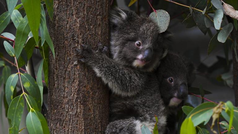 Повече от 60 000 коали са сред засегнатите от опустошителните