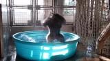 Горила танцува в басейн, докато се разхлажда (Видео)