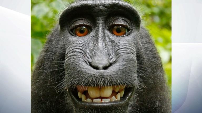 Маймуните не могат да съдят за нарушаване на авторски права