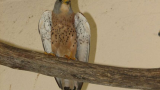 Изчезнал вид птици се завръща в България